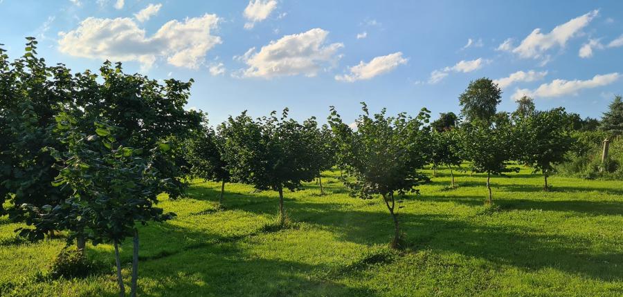 Junge Haselnussbäume auf grüner Wiese